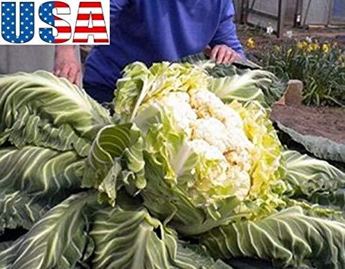 Ferry 100 Semi: USA Venditore stupefacente Gigante cavolfiore 25-100 Heirloom Non OGM
