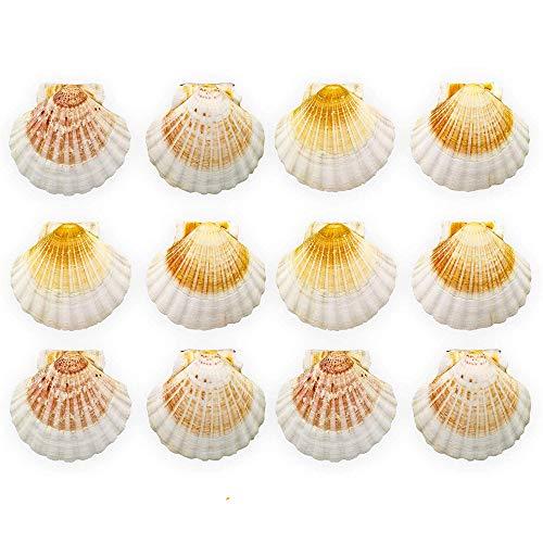 Finoly Große natürliche Muschelschalen Jakobsmuscheln Paket 4/8/12 Stück für die Küche, Dekoration, Handwerk. (12)
