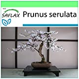 SAFLAX - Cerezo japonés - 30 semillas - Prunus...
