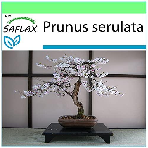 SAFLAX - Cerezo japonés - 30 semillas - Prunus serulata