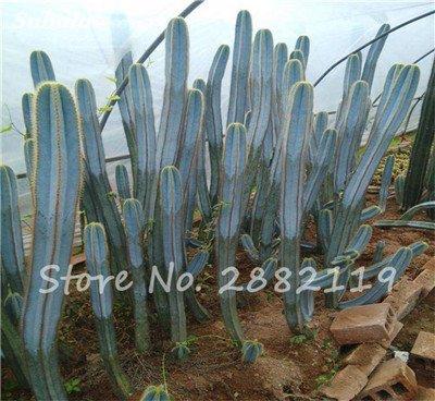 Géant à long Cactus Graines résistant à la chaleur extérieure Succulent Plante en pot Purifier Air Bonsai Pour la maison de jardin sur la radioprotection 80 Pcs 11