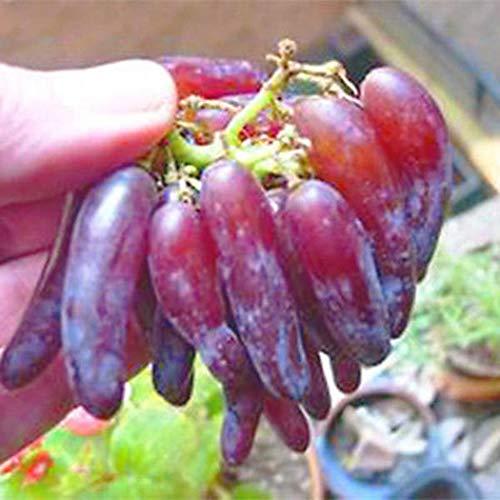 Beautytalk-Garten Frucht Trauben Samen Bonsai pflanzen Home Farm Garden Decor Blumensamen Hausgarten Topfpflanzen mehrjährig bonsai exotische Obst samen
