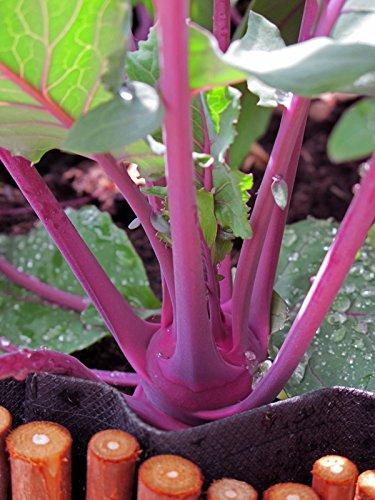 Kohlrabi \'Blauer Delikatess\' (Brassica oleracea var. gongylodes) 100 Samen Rübkohl Stängelrübe Oberrübe