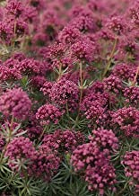 Crucianella (Phuopsis) stylosa 500 Seeds