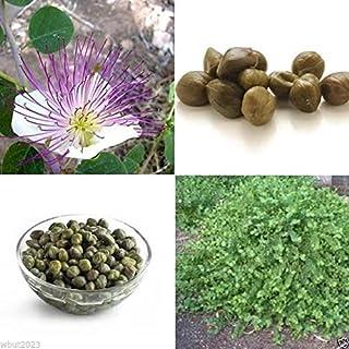 20 semillas de la alcaparra Bush (Capparis spinosa) uso como