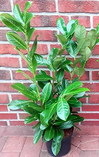 10 Stück Prunus laurocerasus Rotundifolia (Höhe: 60-70 cm / Topfvolumen: 3 Liter), Hecke, immergrün