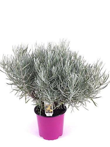 Currykraut Pflanze, Helichrysum angustifolia