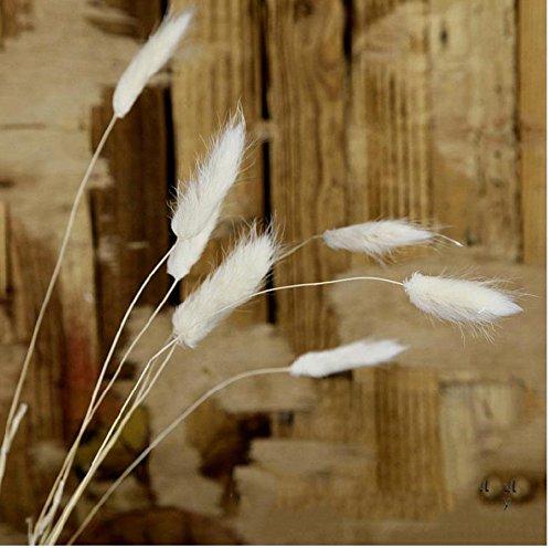 Coorun Samtgras Hasenschwanz-Gras Schwingel Gras Bunny-Tails 10 20 50 Samen Bunte Grün Bodendecker Grassamen für zu Hause Garten Bepflanzung (50, Weiß)