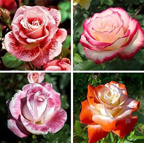 Mixed Seeds Rose, 200 Pcs Rare Bonsai Fleurs Rose, mélanger les couleurs Croissance naturelle Plante en pot pour le jardin Suppies Représentant Amour 17