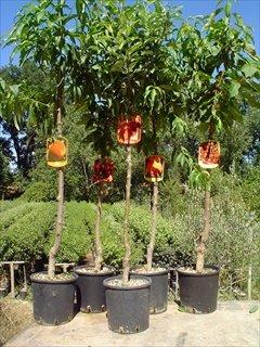 kit 5 piante da frutto frutta alberi albero in vaso 1 pesca 1 ciliegia 1 albicocca 1 pera 1 mela in diverse varietà di prima scelta con concime radicante omaggio e guida per la piantumazione