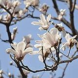 Semillas de magnolia blancas raras Semillas de flores de magnolia en macetas Plantas de bonsai Árbol y flores Variedad Semillas completas 30 piezas