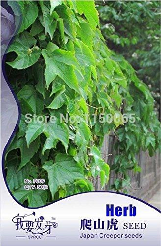 50pcs vente chaude Japon Creeper de semences, Herb Seed, Ivy semences, Bonsai Plante en pot jardin