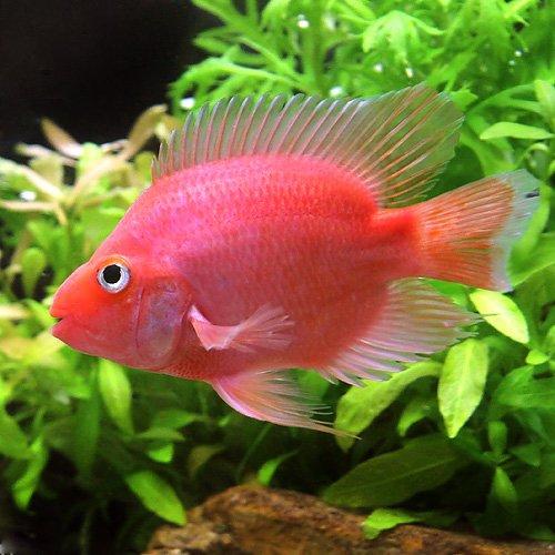 (熱帯魚)キングコングパロットファイヤー MSサイズ(1匹) [生体]