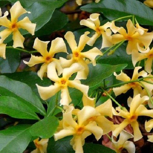 3 x Sternjasmin Star of Toscane (Immergrün) - Gelb, Immergrün, Duftend & Winterhart: 3 kaufen/ 2 bezahlen | ClematisOnline Kletterpflanzen