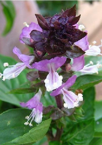 Tropica - Epices - Basilique Mexicain (Ocinum basilicum cinnamon) - 200 Graines