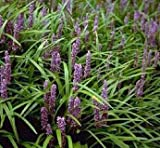 GEOPONICS 10 Monkey Seed - Lily Turf - Liriope muscari - Ombre