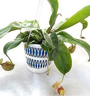 食虫植物 ネペンテス フーケリアナ苗 5号吊鉢 吊り紐付 フーケリー
