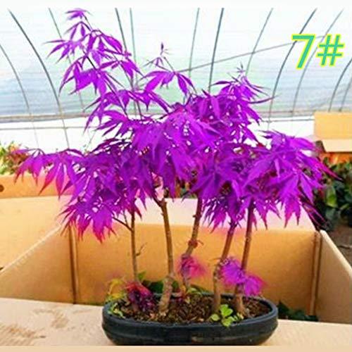 Junlinto, 20 Pcs Graines D'érable Japonais Bonsaï Plant De Fleurs Pot De Fleurs Coloré Feuilles Creative Ménage Maison Mini Jardinage Décor 17