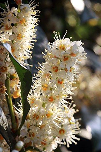 Kirschlorbeer Prunus laurocerasus 9 Samen