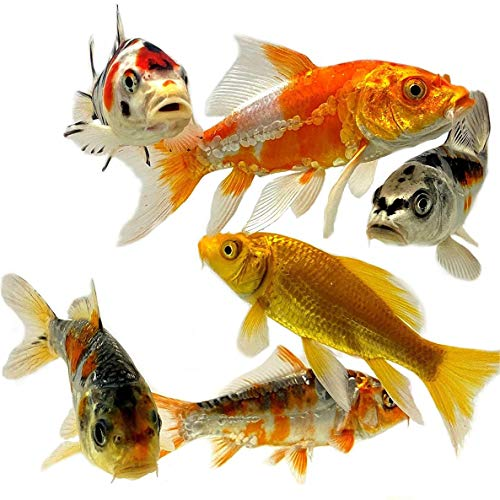pond fishes Toledo Goldfish Live Butterfly Fin and Regular Koi Combo for Ponds, Aquariums or Tanks – USA Born and Raised – Live Arrival Guarantee (3 to 4 inches, 4 Fish)