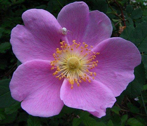 Nootka Wild Rose 15 Seeds - Rosa nutkana - Heirloom