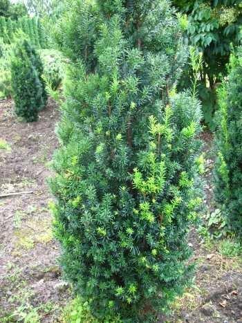 Becher Eibe Taxus media Hicksii 60-70 cm hoch mit Ballen