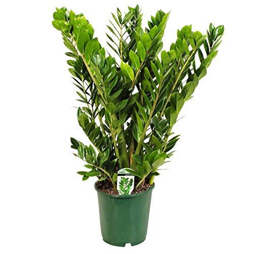 Pflanzen Kölle Kompakte Glücksfeder, Zamioculcas 'Lucky', Topf 24 cm, Höhe ca. 90 cm