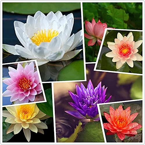 40 piezas de semillas de loto mezcladas.Lirios de agua coloridos decoran el balcón del jardín...