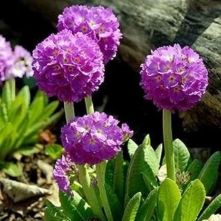 Drumstick Primrose seeds - Primula denticulata