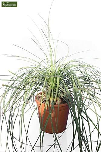 Mexikanischer Grasbaum - Dasylirion longissimum - 120-140cm - Topf Dia 28cm