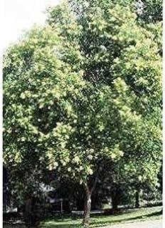 サピンダスmukorossi種子、ソープナッツ種子、マラーティー語 - Ritha、ヒンディー語 - Phenil