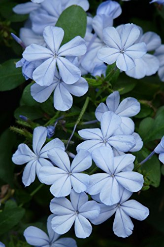 Plumbago Auriculata Flowers in Spring Journal: Take Notes, Write Down Memories in this 150 Page Lined Journal
