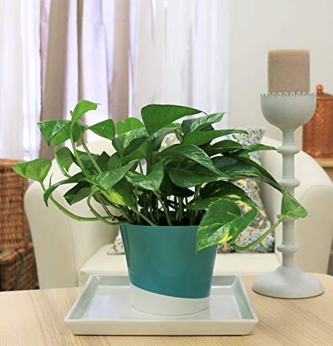 哥斯达养殖场易护理魔鬼的常春藤金茶杯活室内植物,6英寸