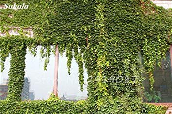 VISTARIC 1: 50 Pcs mixte Boston Seeds 100% vrai Parthenocissus tricuspidata semences de plantes en plein air QUASIMENT soins décoratifs Escalade de plantes 1