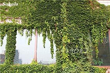 Vistaric 50 Pcs Mixte Boston Graines 100% Véritable Parthenocissus Tricuspidata Semences Plantes D'extérieur Presque Pas De Soins Plante D'escalade Décorative 1