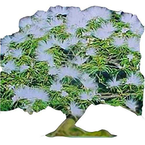 Olodui1 Samenhaus 50 stücke Seltene Albizia Julibrissin Akazien Samen Bonsai Pflanzen Hause Blumengarten Blumensamen