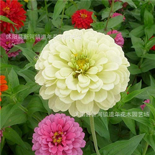Aerlan Fleurs Graines ornementales pour Balcon,Zinnia Seed Cosmos Garden Balcon extérieur en Pot Plante-Blanc 250g,Graines de Parfum rares