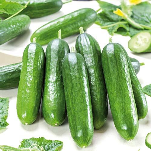 Volmary Mini-Salat-Snackgurke 'Gambit® (Printo)'   Saatgut   sehr beliebte Sorte   6 Korn
