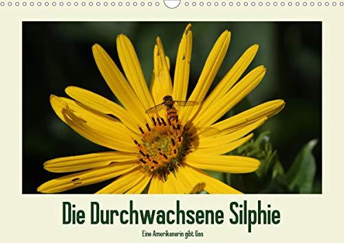 Die Durchwachsene Silphie - Eine Amerikanerin gibt Gas/CH-Version (Wandkalender 2021 DIN A3 quer)
