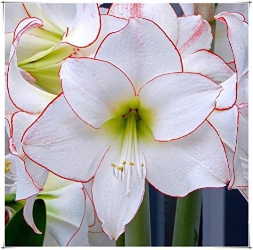 Bulbos Amarilis,Adecuado Para Plantar Al Aire Libre,Planta En Maceta Muy Popular,PFlores Impresionantes,Estilo único Y Hermoso.-1 Bulbo,2