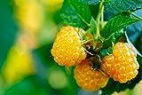 Himbeerpflanze mit gelben Früchten - Rubus idaeus TwoTimer Sugana® -