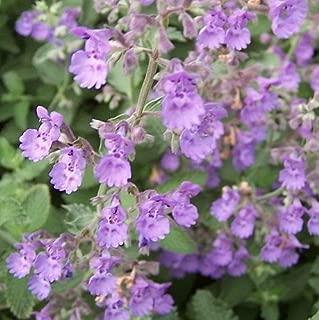 Walker's Low Catmint Perennial - Nepeta faassenii - Live Plant - Gallon Pot