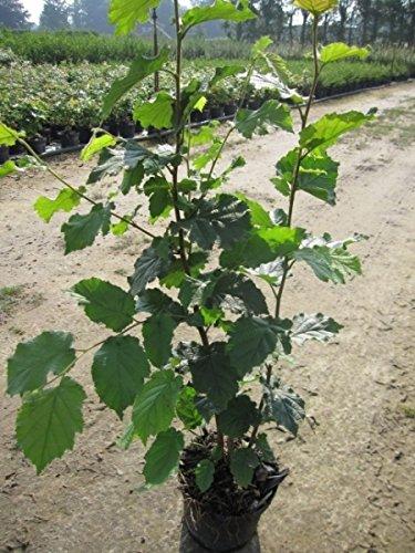Baumschule Pflanzenvielfalt Corylus avellana - Gemeine Hasel - Haselnussstrauch - 60-100 cm