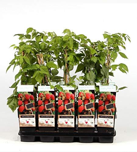 Himbeere - Rubus idaeus Malling Promise ca. 60 cm ertragreiche Gartenhimbeere