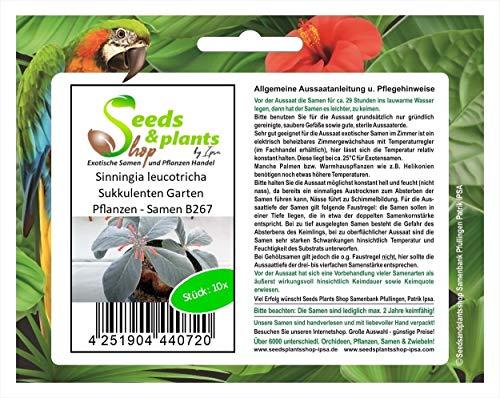 Stk - 10x Sinningia leucotricha Sukkulenten Garten Pflanzen - Samen B267 - Seeds Plants Shop Samenbank Pfullingen Patrik Ipsa