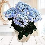 [2020年母の日ギフト]アジサイ:ふわわ(ブルー)5号鉢植え・サスティー付