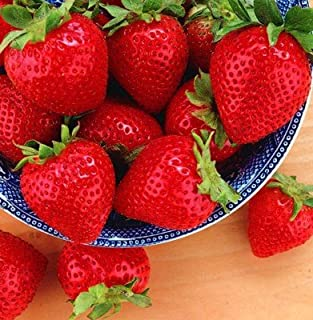 Tristar Everbearing Strawberry 50 Bare Root Plants - Sweetest & Most Aromatic
