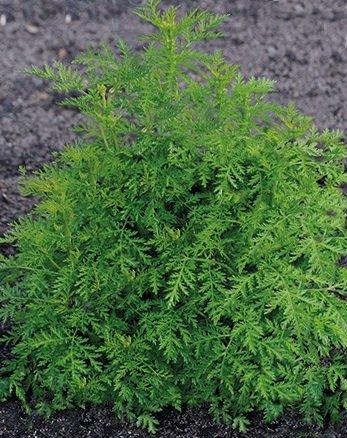 HÉRITAGE NON OGM doux Anne Artemesia 100 graines (médicinales, ornementales)