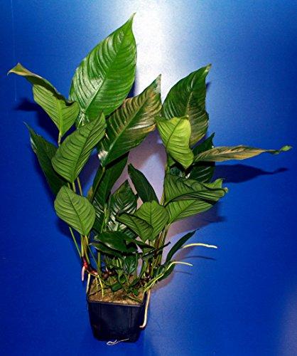 WFW wasserflora MUTTERPFLANZE Verschiedenblättriges Speerblatt/Anubias Heterophylla