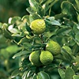 Kaffir Lime Tree- Grafted Dwarf Kaffir Lime (Thai Ma-grood)